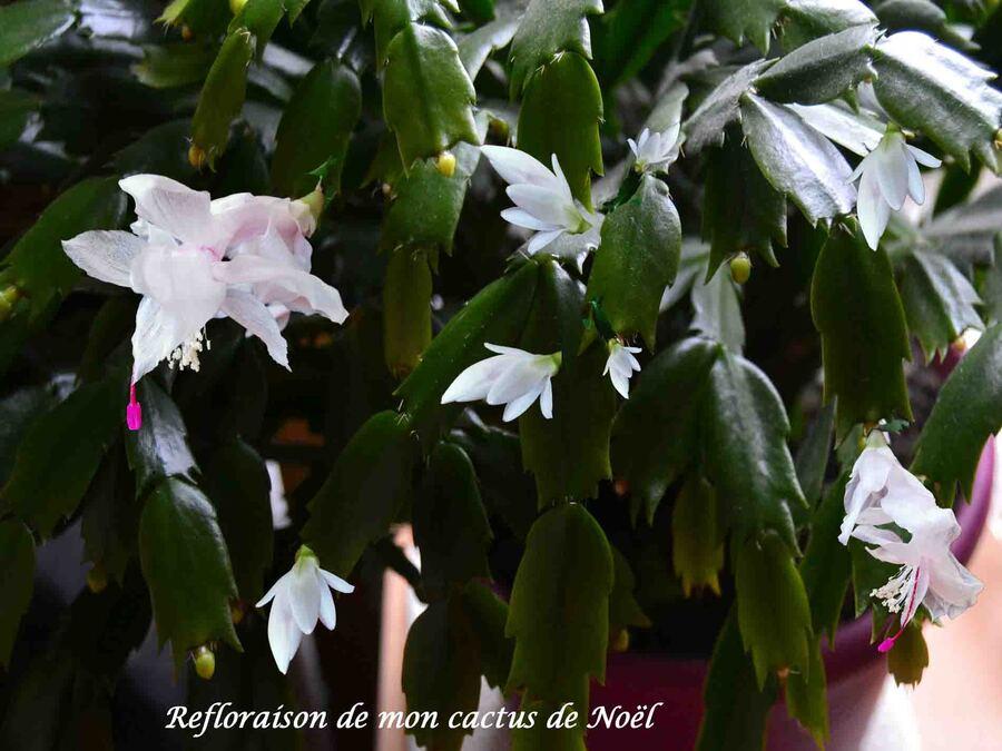 « Refloraison de mon cactus de Noël »