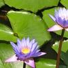 Fleur de Lotus - Sri Lanka