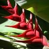 fleur-balisier.jpg