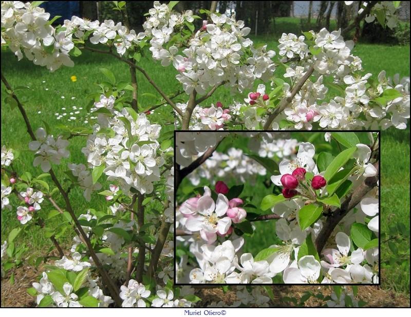 Pommier fleurs
