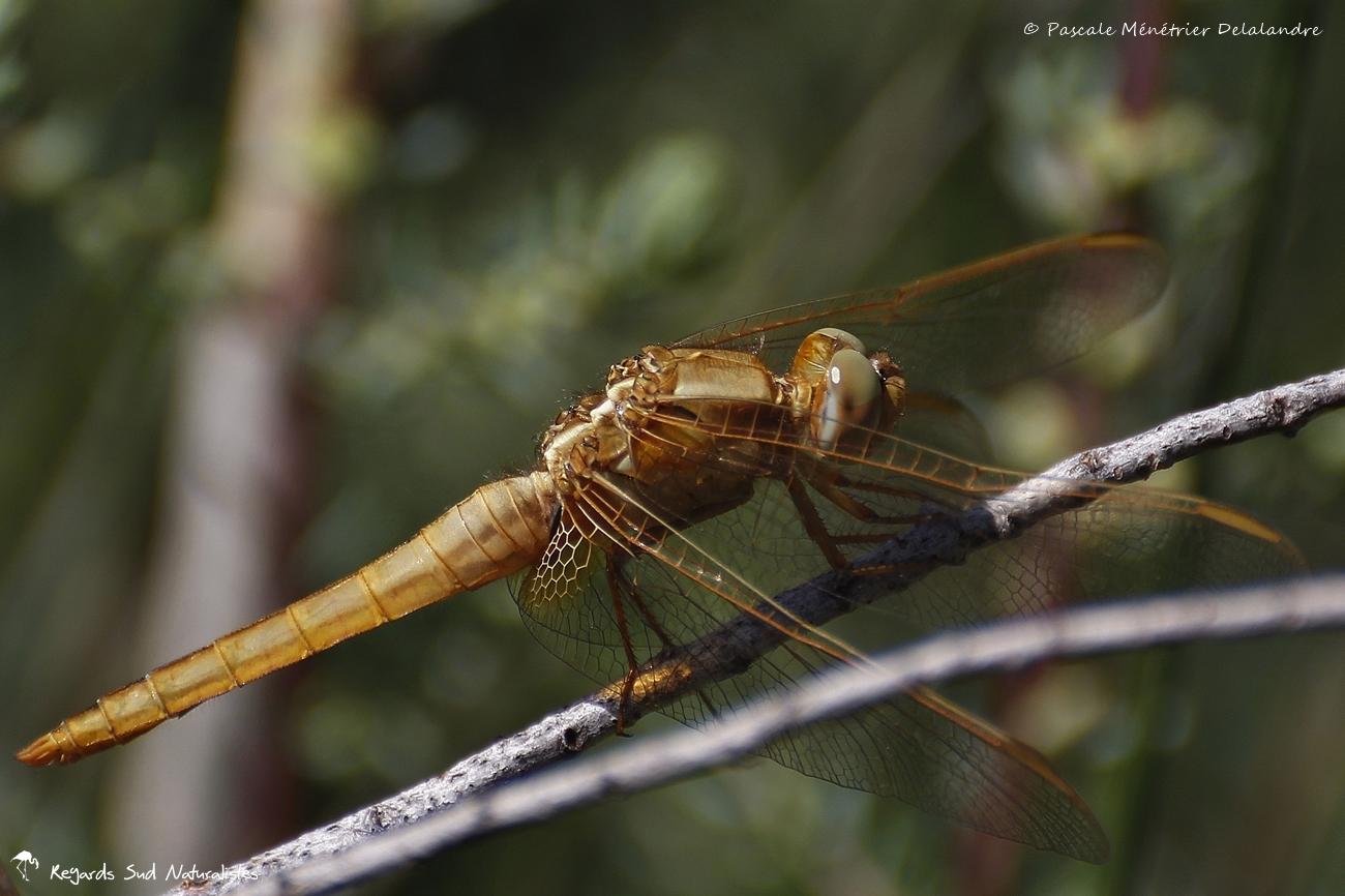 Crocothémis écarlate ♀ - Crocothemis erythraea