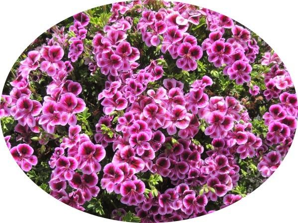 Geranium-petites-fleurs.jpg