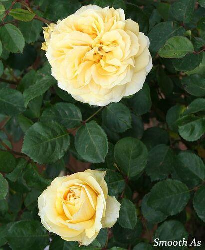 Les Roses de Warren : Smooth As