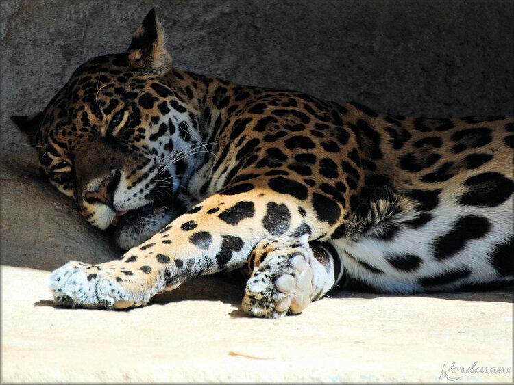 Photo de Guépard du Zoo de la Palmyre