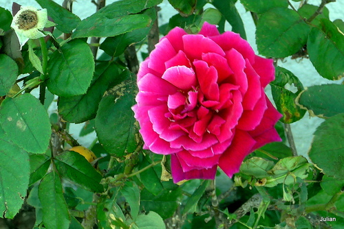 Rose rouge double