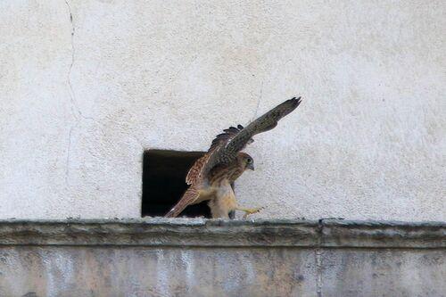 Faucon Crécerelle (Common Kestrel)