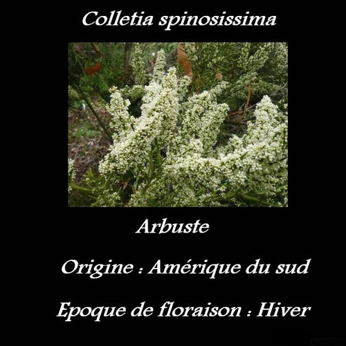 Colletia spinosissima