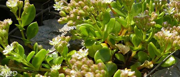 Polycarpon polycarpoides subsp. catalaunicum  -  polycarpon de Catalogne