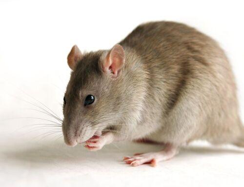 CHANTOUVIVELAVIE : Opérations «coup de poing» à Paris contre les rats