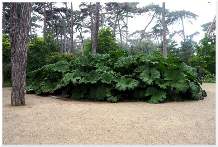 Parc Floral de Paris. Gunnera Manicata.