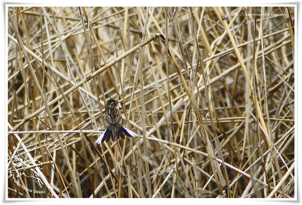 Bruant des roseaux femelle en nuptial