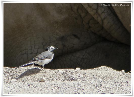 Bergeronnette grise - Motacilla alba - White Wagtail
