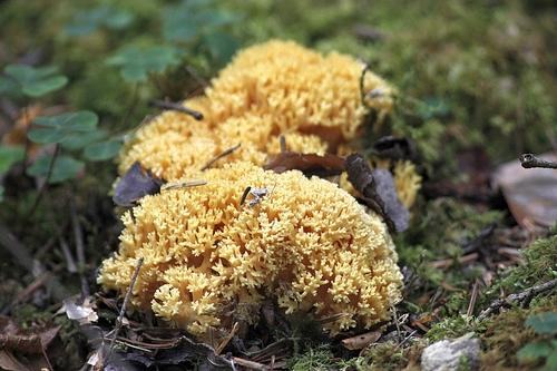 ramaria aurea - clavaire dorée (comestible jeune)