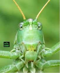 """Résultat de recherche d'images pour """"sauterelle verte"""""""