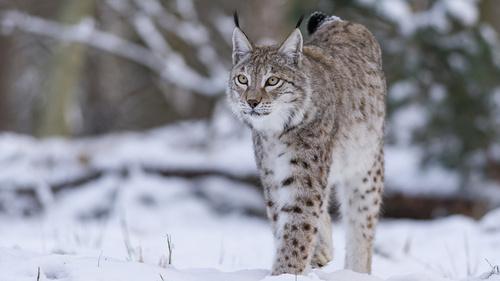 Lynx boréal... encore une victime !