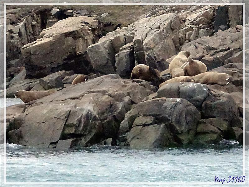 Avant de quitter Dundas Harbour, nous observons, de loin, une compagnie de morses - Nunavut - Canada