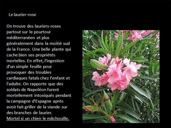 La Laurier-Rose