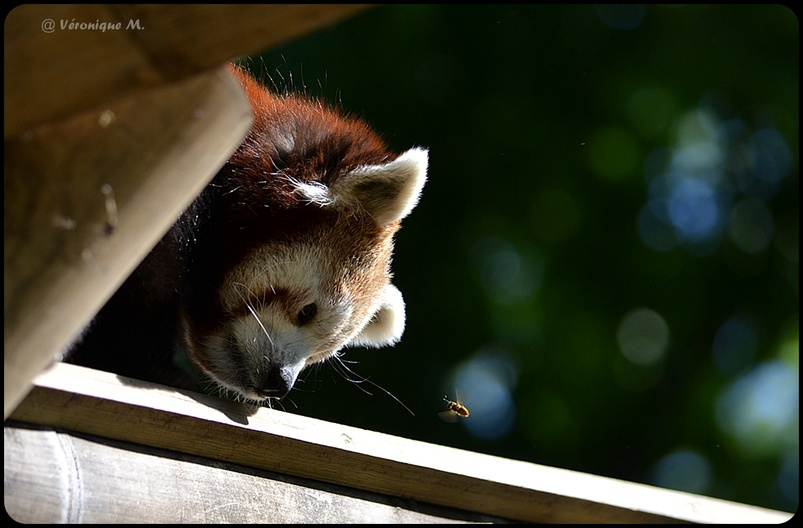 La photo du weekend : La Panda Roux et l'abeille