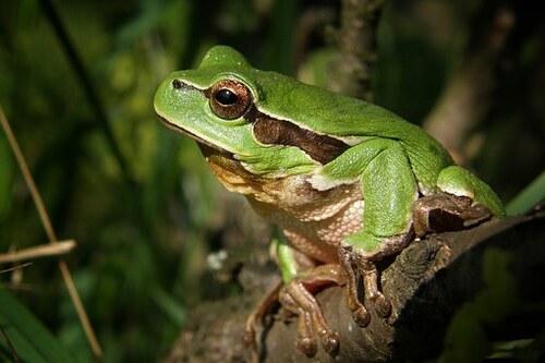 La grenouille et le crapaud
