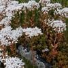Orpin blanc ou Sédum blanc (Sedum album)