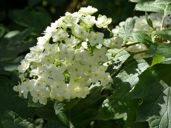 hydrangea Snowflake