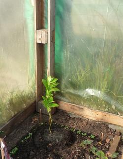 Plantation d'un citronnier