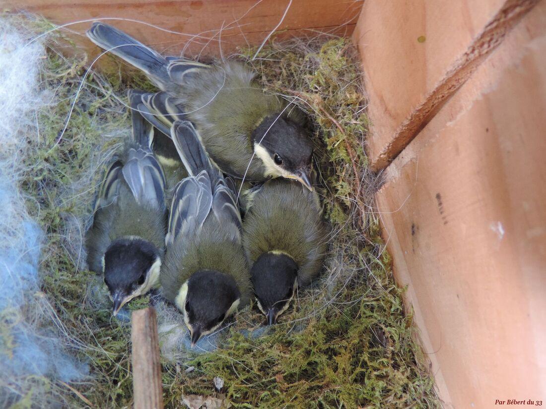 les mésanges et leurs bébés