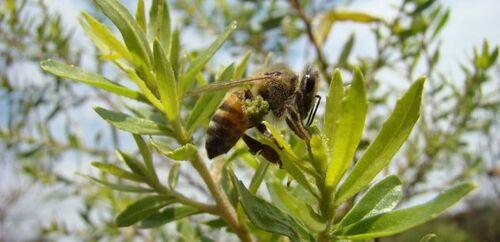 Le glyphosate serait (aussi) un tueur d'abeilles (l'obs-24/09/18-21h12)