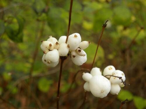 L'arbre à perles ou Symphorine