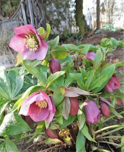 Février  au jardin: Hellébores, perce-neige et compagnie...