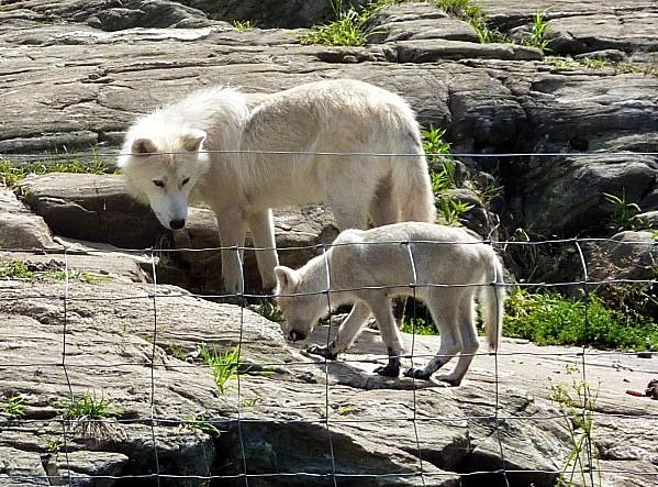 Parc Omega loups blancs mère et petit