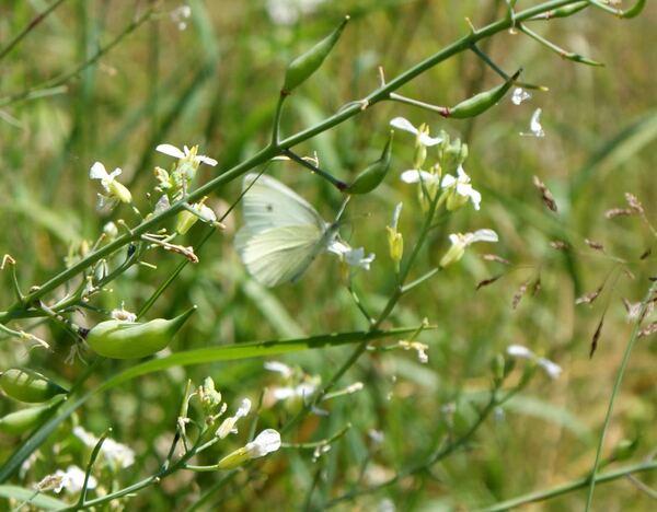 La danse des papillons pieris brassicae piéride du choux