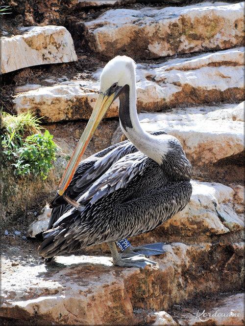 Pélican du Chili (Zoo de Doué la Fontaine)
