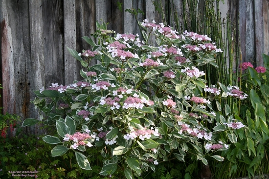 Hydrangea mariesii 'Variegata' 2