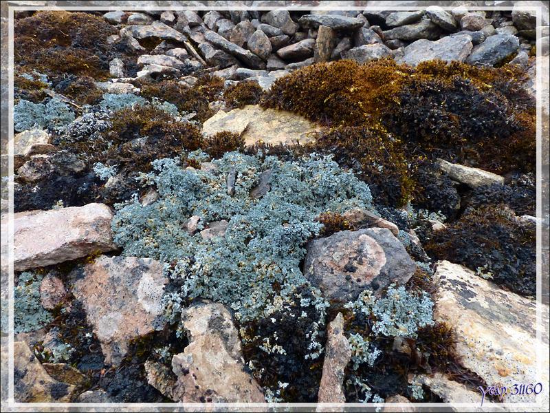 Superbe massif de lichen bleu - Beechey Island (Péninsule de Devon Island) - Nunavut - Canada
