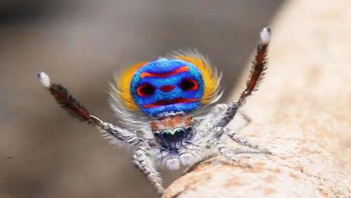 La danse des amours de l'araignée-Paon (Maratus)