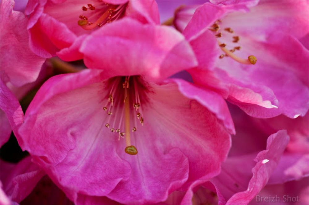 Rhododendron Coronation Day : Le coeur de la fleur