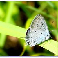 Azuré des Nerpruns ou  Celastrina Argiolus