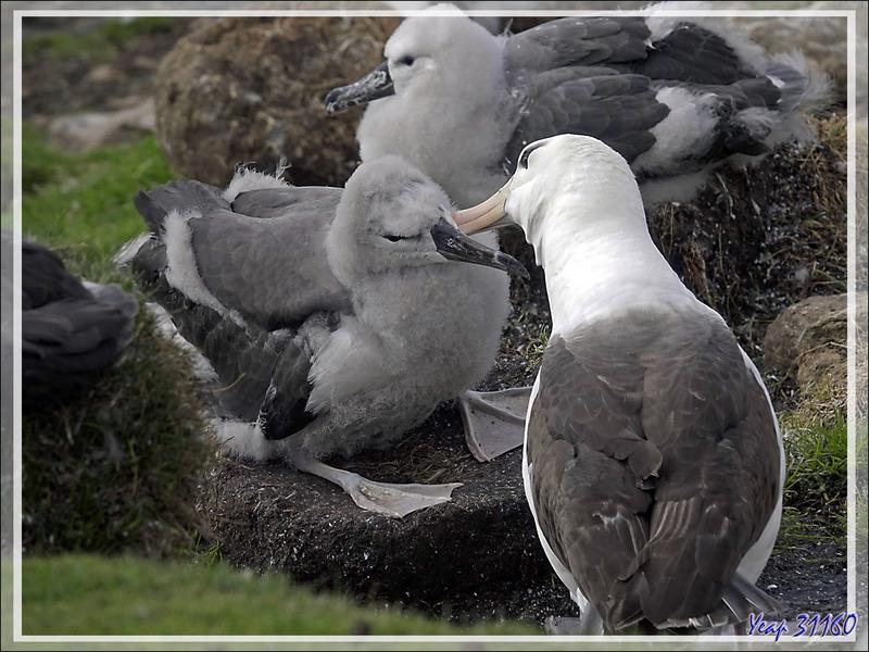 Colonie d'Albatros à sourcils noirs, Black-browed Albatross (Thalassarche melanophris) - The Neck (Le Détroit) - Saunders Island - Falkland (Malvinas, Malouines) - Grande-Bretagne