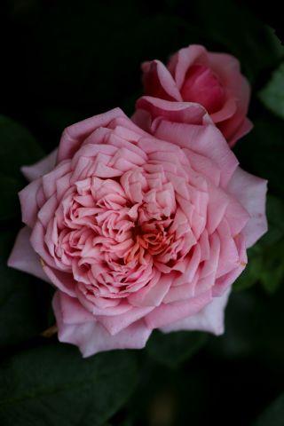 Les Roses de Warren : Rêve en Rose