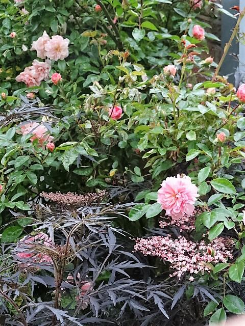 Un rosier coup de coeur: Paul Transon