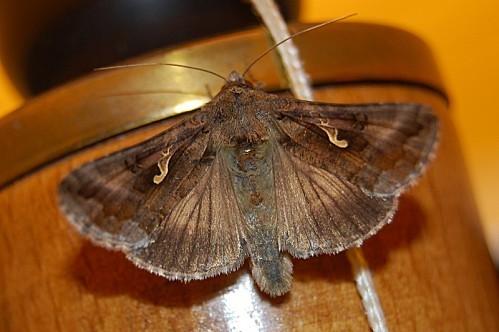 Autographa gamma - Noctuidae