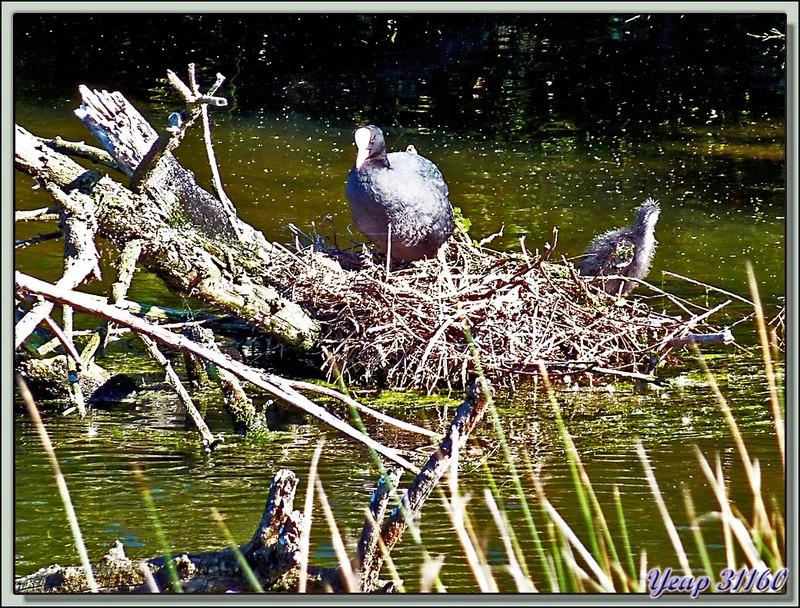 Foulque macroule au nid (Fulica atra) - La Couarde-sur-Mer - Ile de Ré - 17
