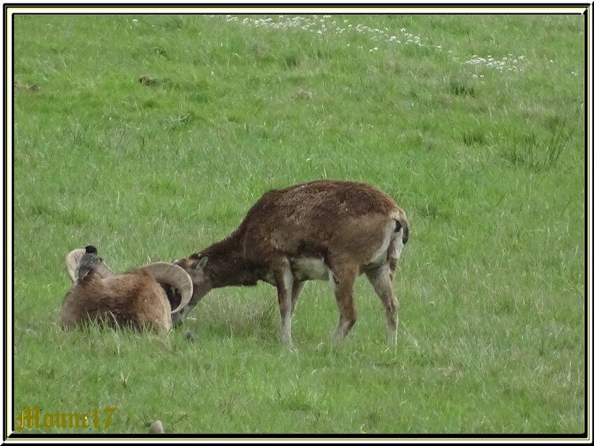 Les animaux dans le parc de Chambord