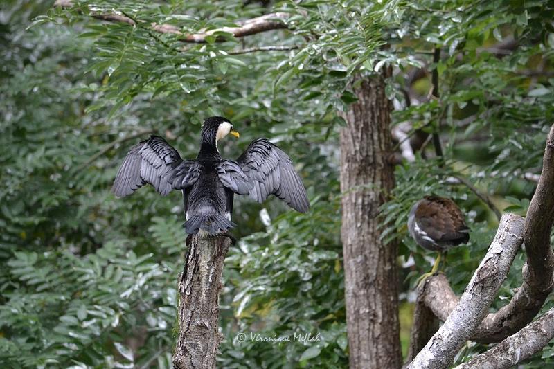Ménagerie du jardin des Plantes : La grande volière : le Cormoran pie