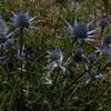 L'endémique Chardon bleu des Pyrénées ou Panicaut de Bourgat (Eryngium bourgatii)