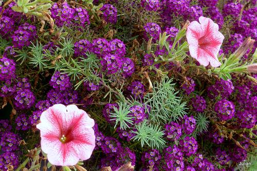 Des pétunias en fleur !