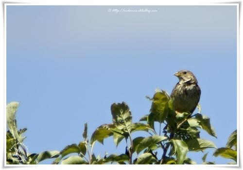 Bruant proyer - Emberiza calandra - Corn Bunting