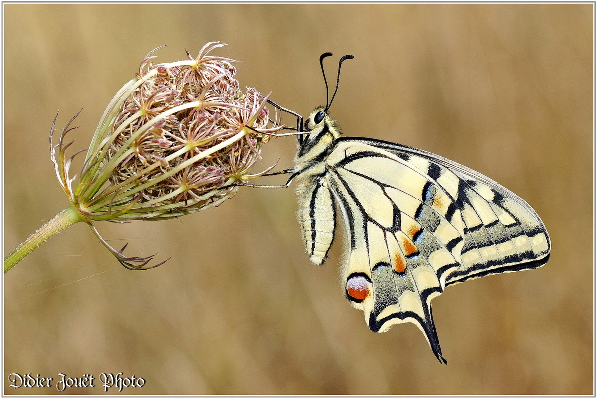 Machaon (1) - Papilio machaon