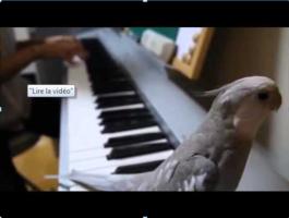 Un perroquet (calopsitte) siffle la musique accompagné par son maître au piano. (lien)